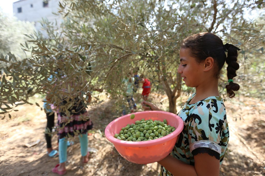 A child picks olives in the West Bank.